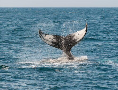 Icreíble comunicación entre ballenas.